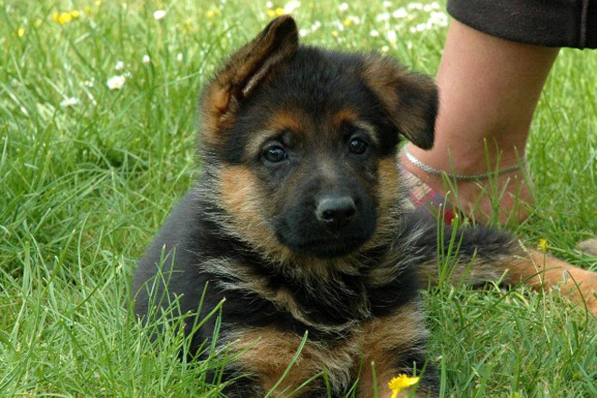 german shepherd puppies for sale dog bazar