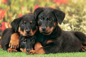Beauceron Puppies For Sale