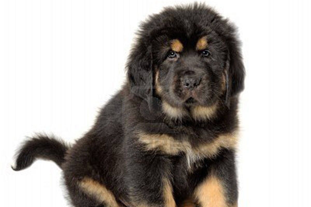 Tibetan Mastiff Puppies For Sale | Dog Bazar