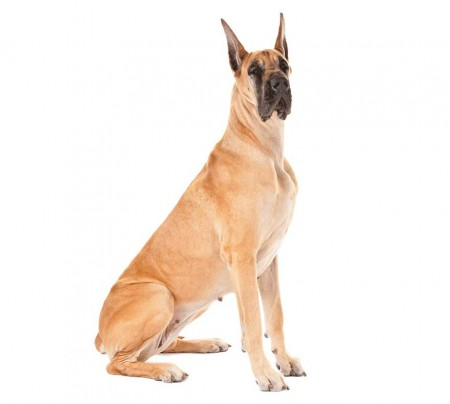 Great Dane Adult for Sale