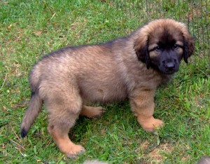 Leon Berger Puppies For Sale