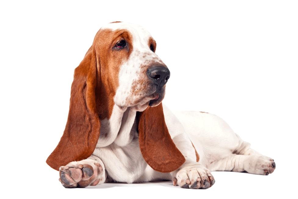 Basset Hound Puppies For Adoption Dog Bazar