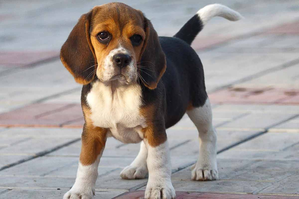 Beagle Puppies For Sale Dog Bazar