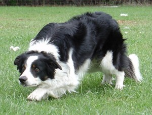 border-collies-breeders-