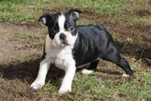 boston-terrier301
