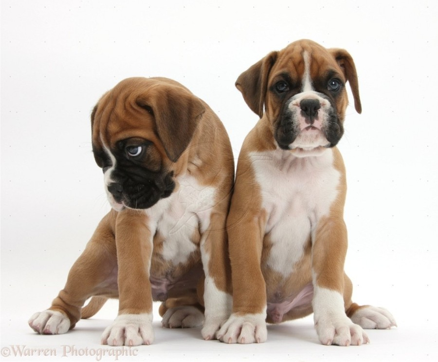 Saint Bernard Puppies For Adoption Dog Bazar