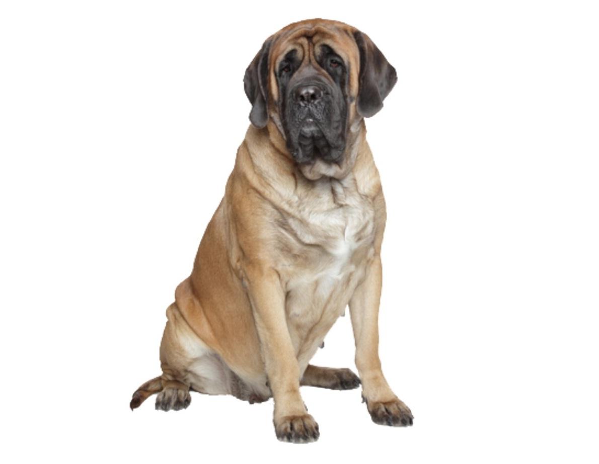 English mastiff puppies for adoption dog bazar english mastiff puppies for adoption geenschuldenfo Gallery