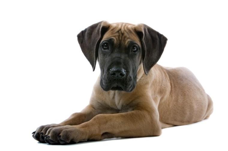 great dane puppies for adoption dog bazar