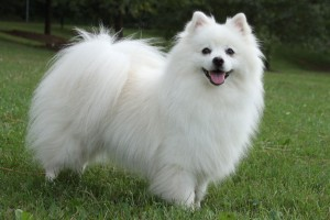 American Eskimo Puppies For Sale