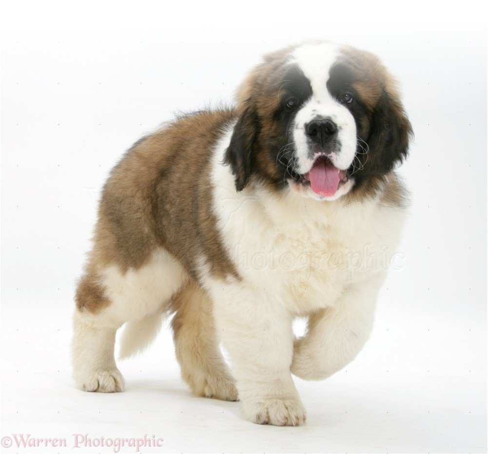 Saint Bernard Puppies For Adoption | Dog Bazar