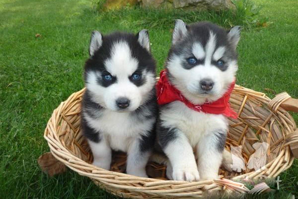 Siberian Husky Puppies For Sale Dog Bazar