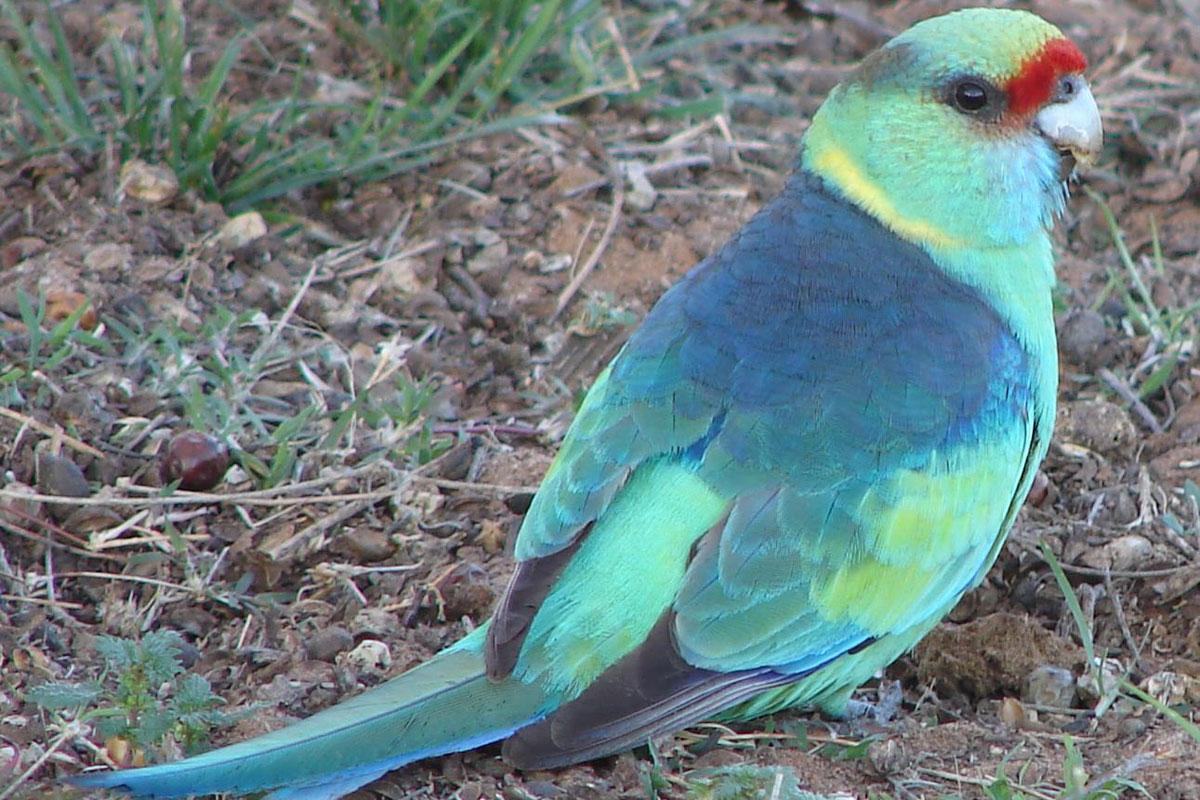 Ringneck Parrot For Sale uk Ringneck Parrot For Sale