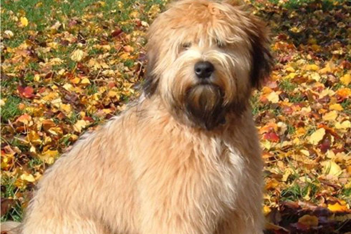 Wheaten Terrier Puppies For Sale   Dog Bazar