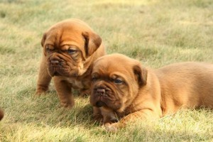 French Mastiff Puppies For Sale