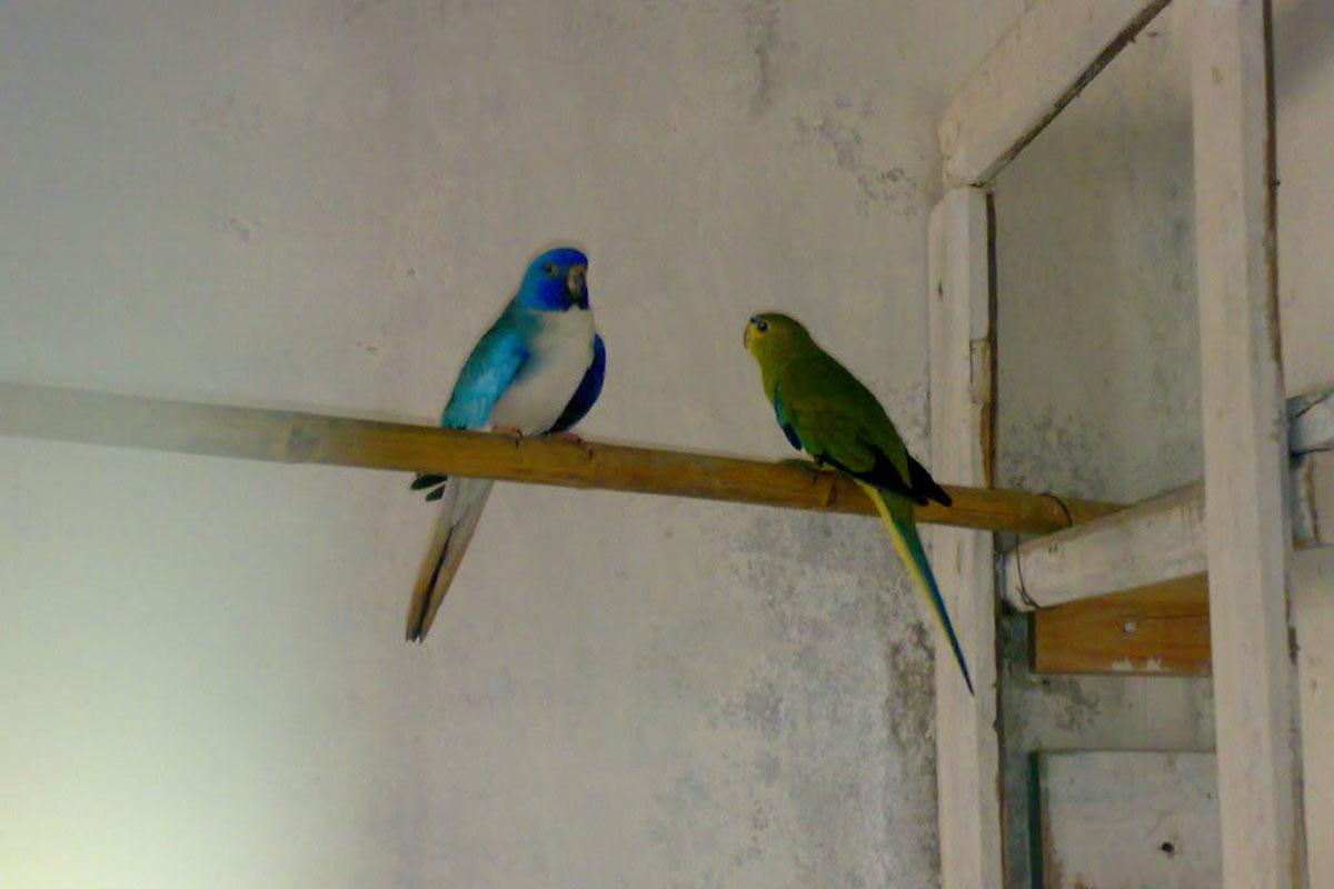 Parakeets For Sale | Dog Bazar