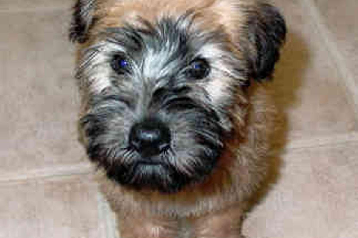 Wheaten Terrier Puppies For Sale | Dog Bazar