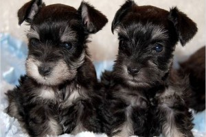 Schnauzer Puppies For Sale