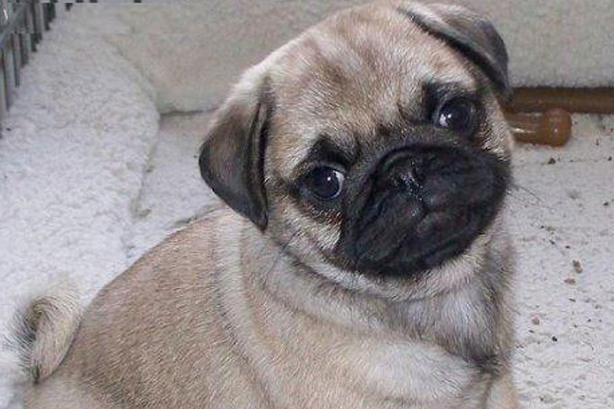 Small Toy Pugs : Pug puppies for sale dog bazar