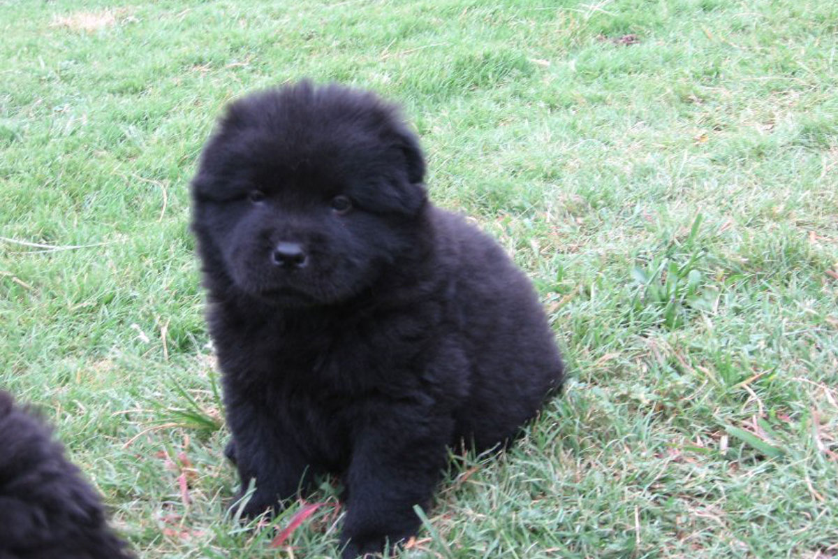 Pictures Of Black Chow Chow Dogs