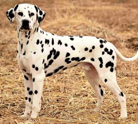 Dalmatian Adult for sale