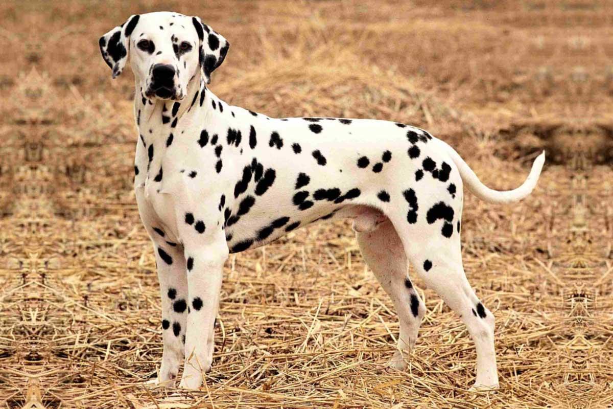 dalmatian puppies for adoption dog bazar