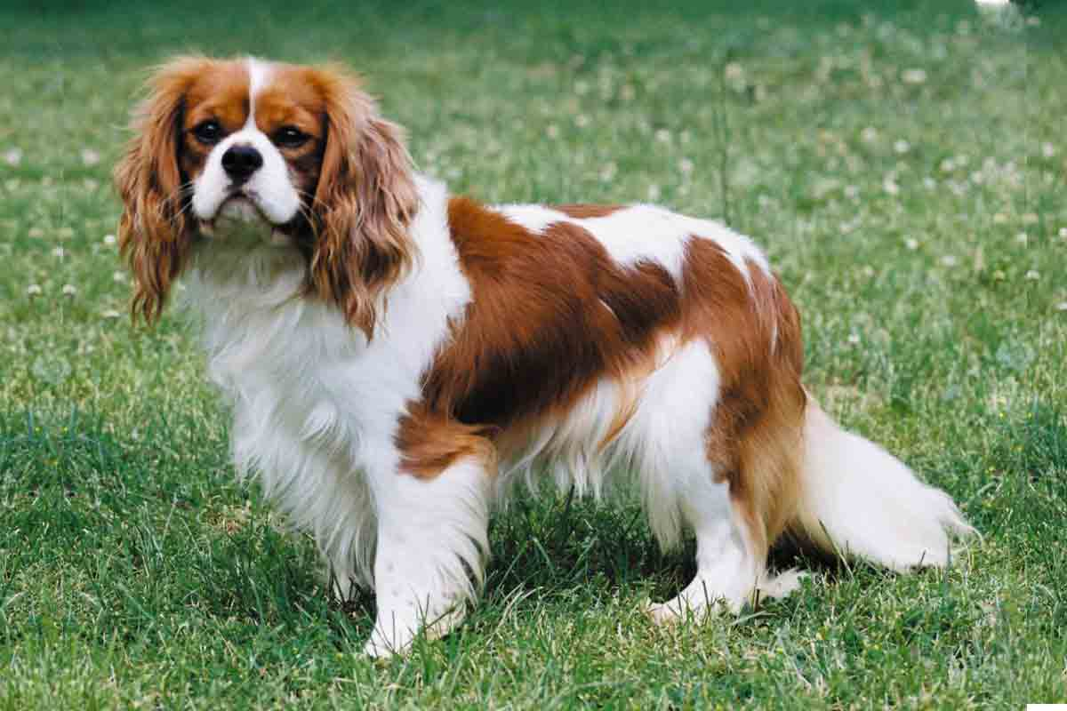 Commit Adult cavalier king charles spaniels for sale can help