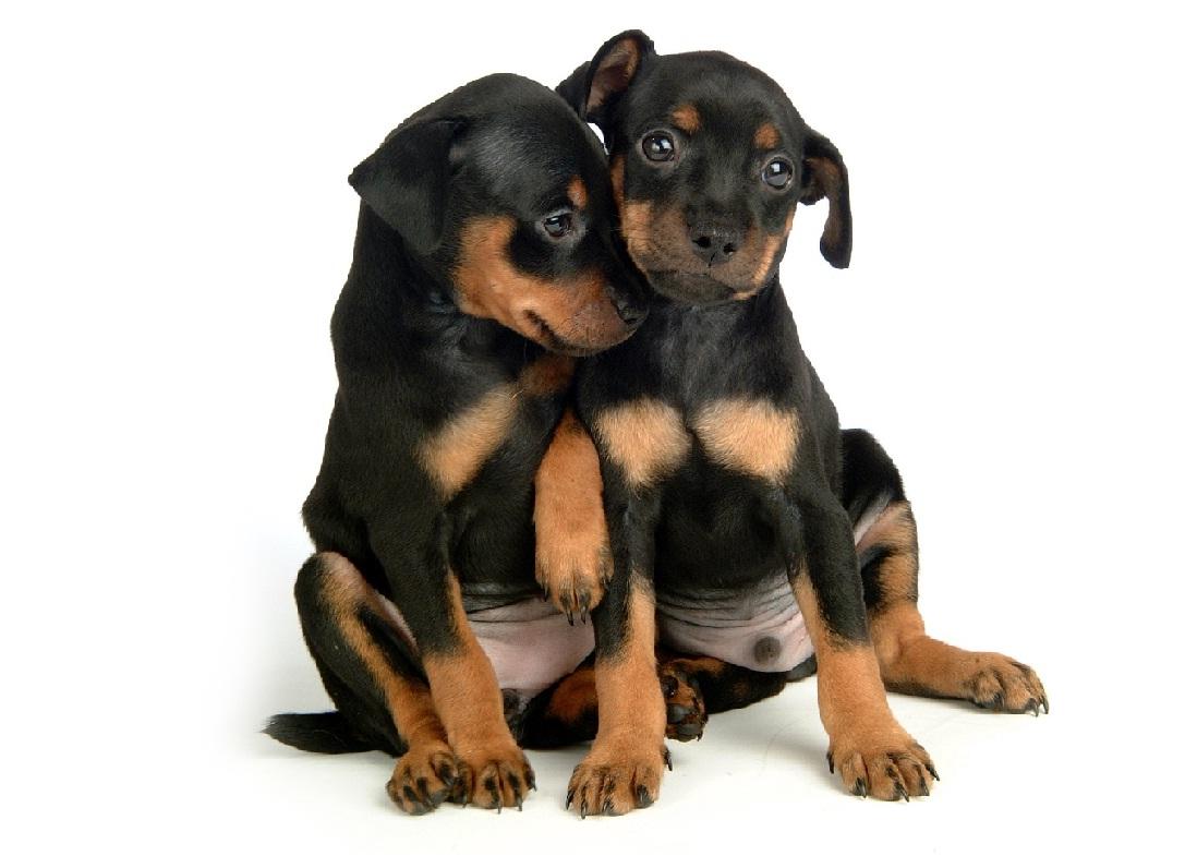 Miniature Pinscher Puppies For Adoption Dog Bazar
