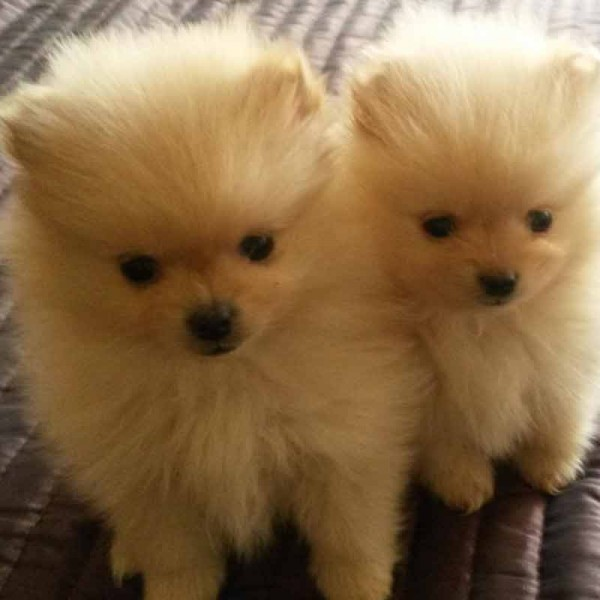 pomeranian puppies for sale dog bazar