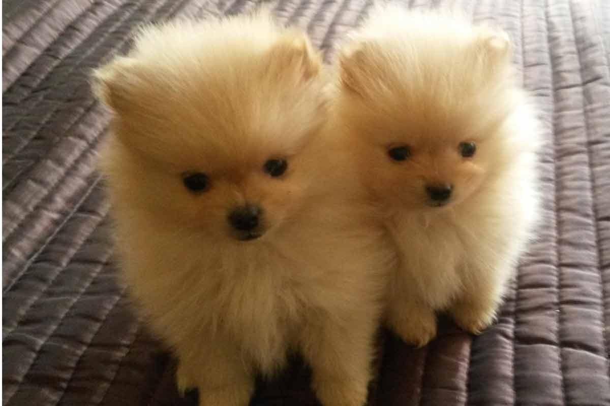 pomeranian puppies for sale | Dog Bazar