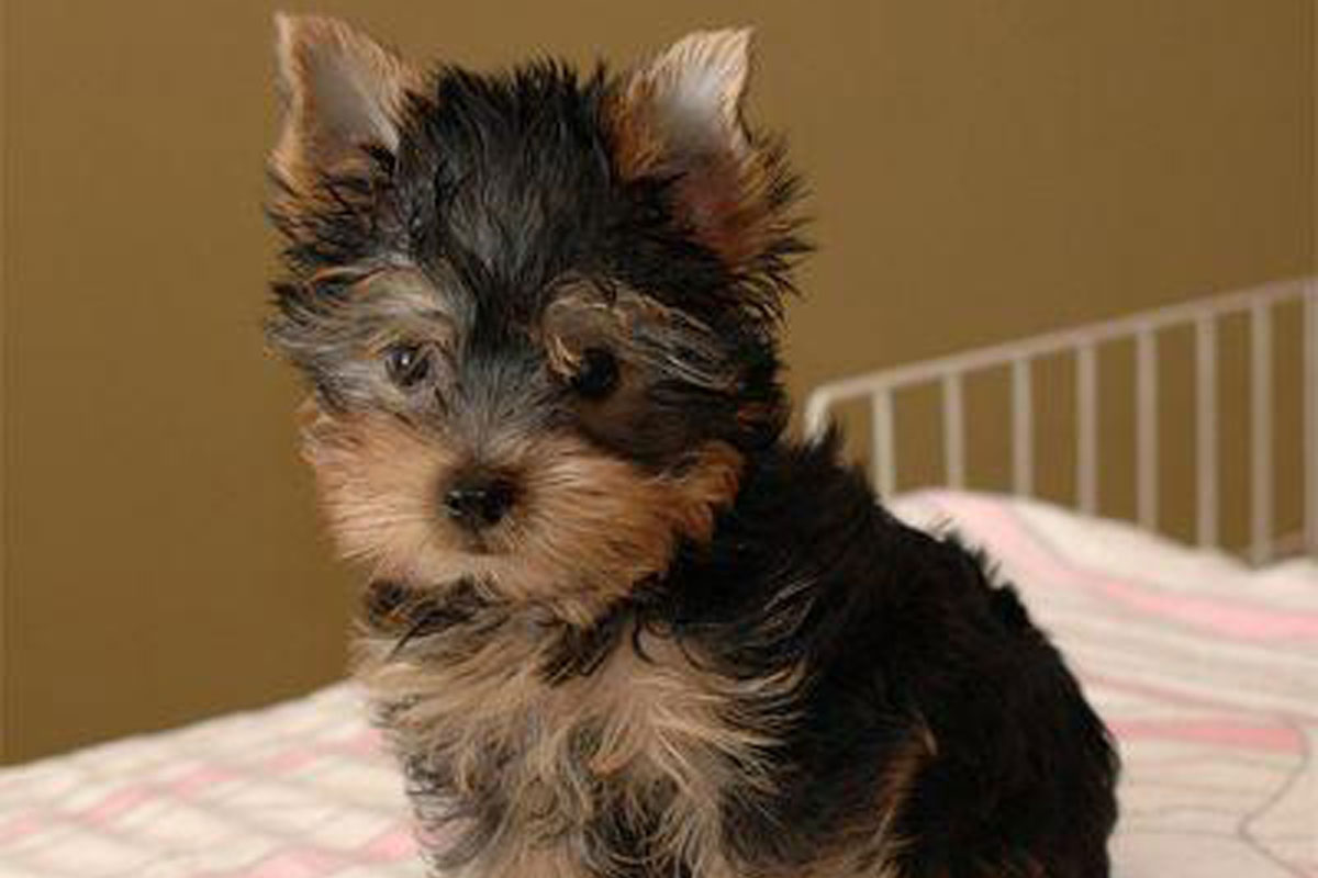 yorkshire terrier puppies for sale dog bazar