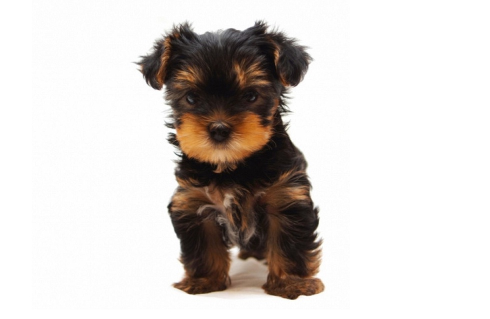 Yorkshire Terrier And Small Dog Rescue