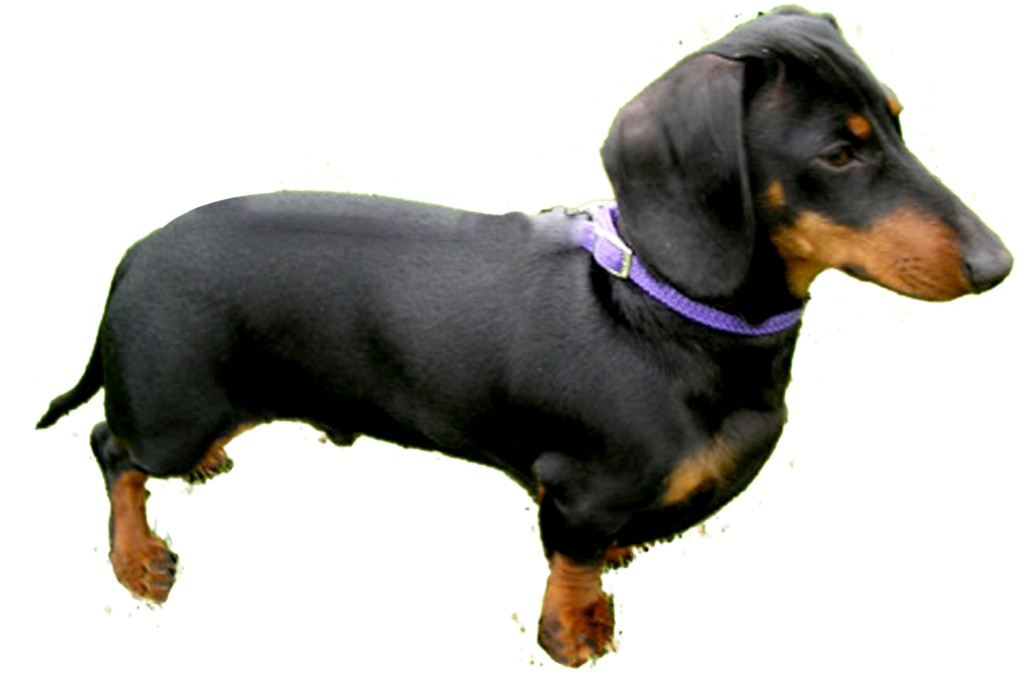 Dachund Dogs For Sale