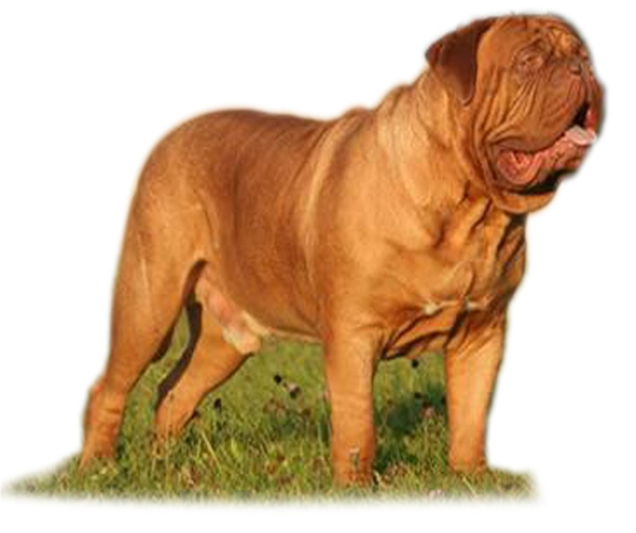 French Mastiff Puppies For Adoption