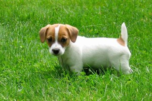 jackrussell-terrier-puppies