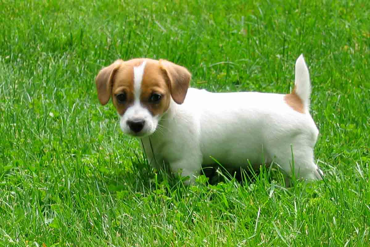 jack russell terrier puppies for sale dog bazar