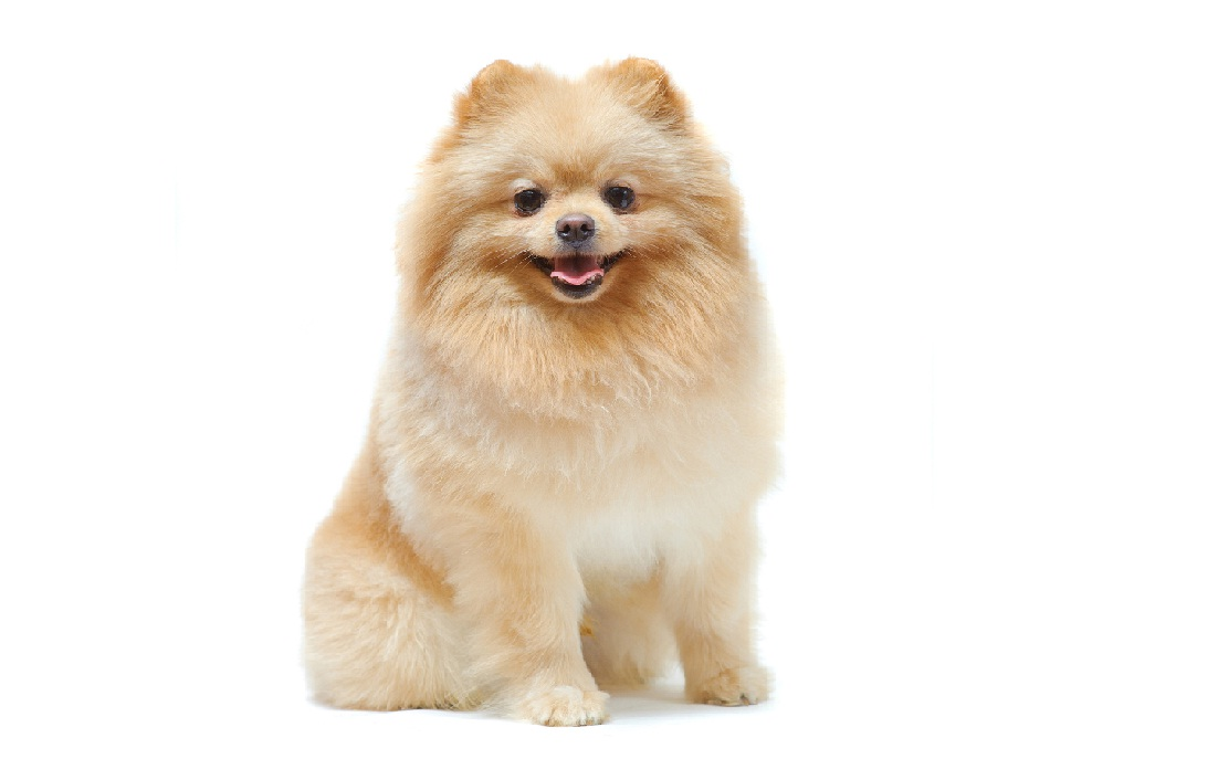 Pomeranian puppies for adoption dog bazar pomeranian puppies for adoption thecheapjerseys Image collections