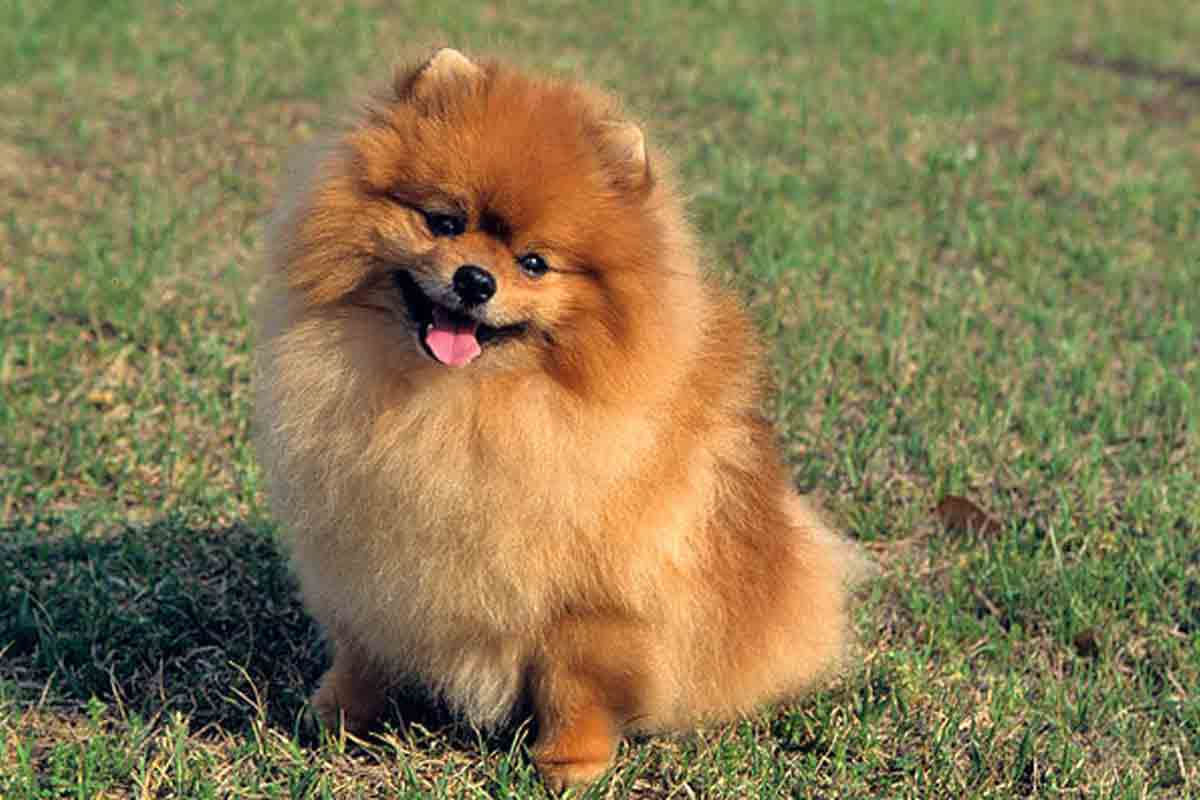 Pomeranian Puppies For Sale | Dog Bazar
