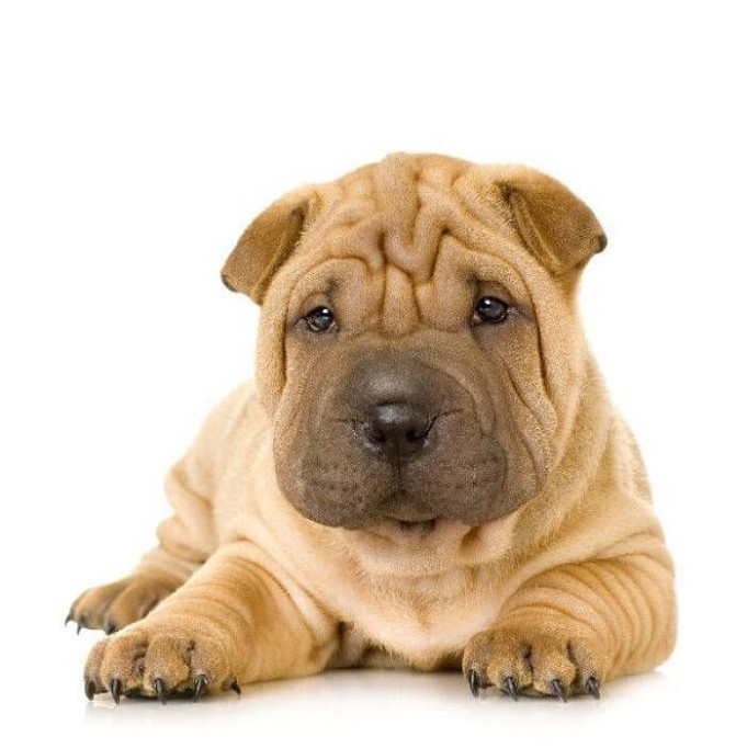 shar pei puppies for adoption dog bazar. Black Bedroom Furniture Sets. Home Design Ideas