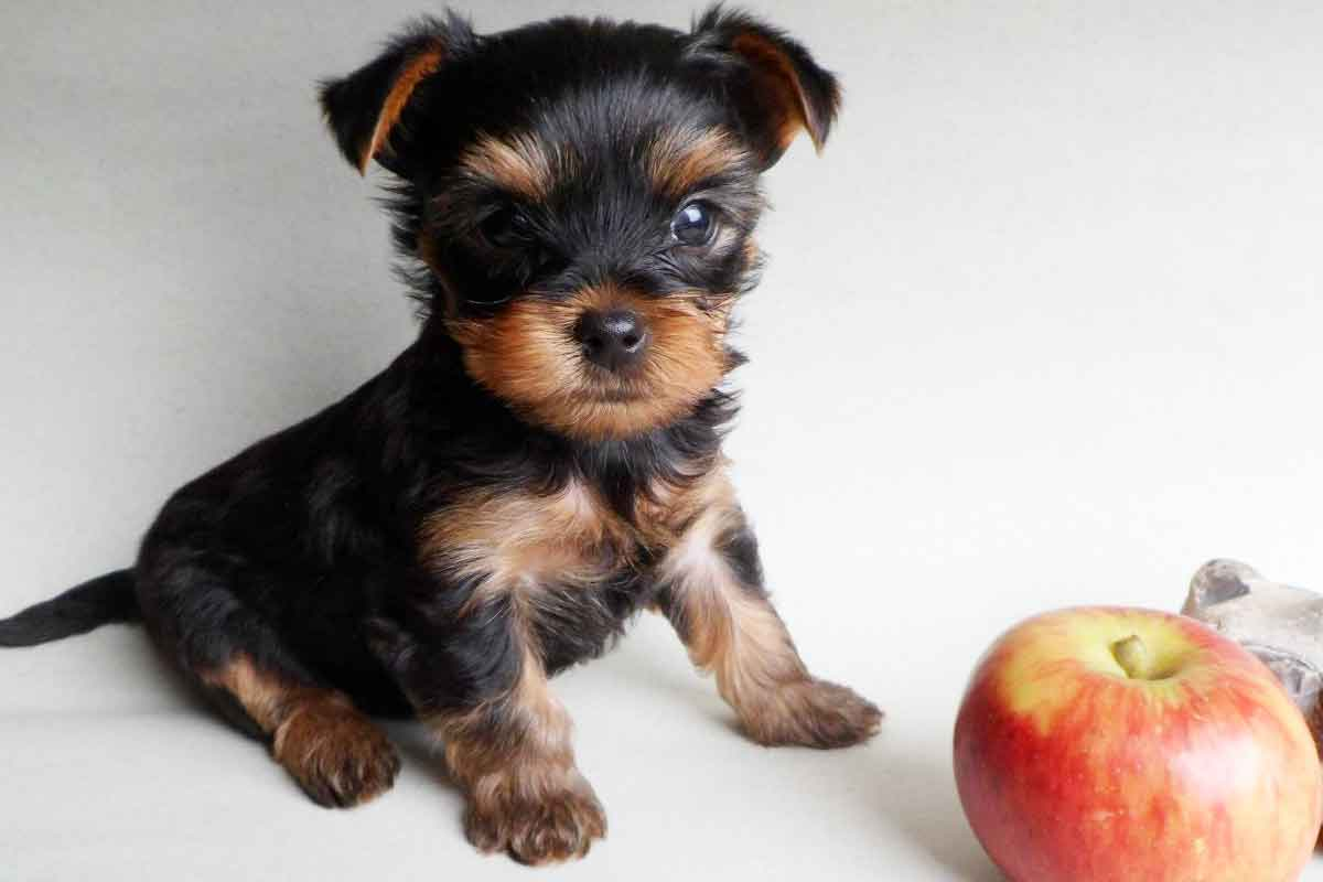 Yorkshiere terrier puppies...?