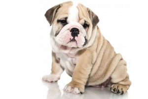 british-bull-dog-puppies