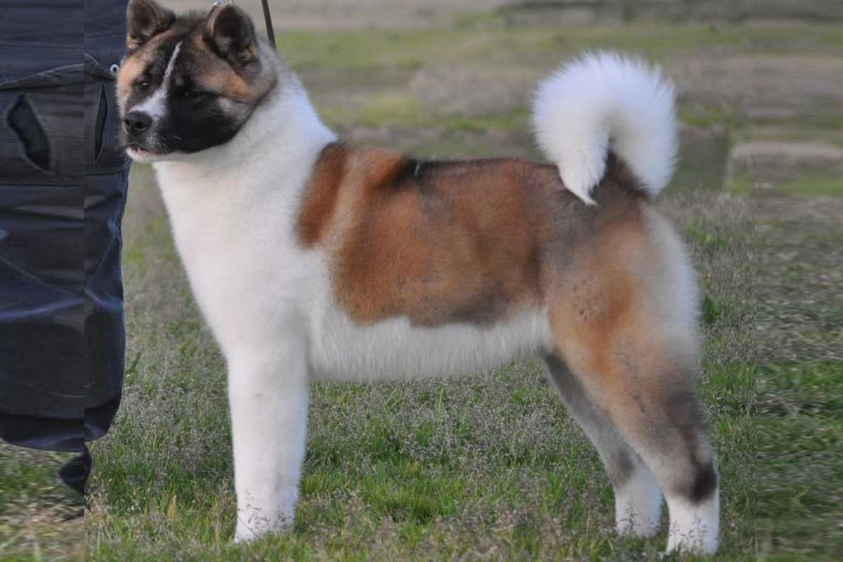 Akita Puppies For Sale | Dog Bazar