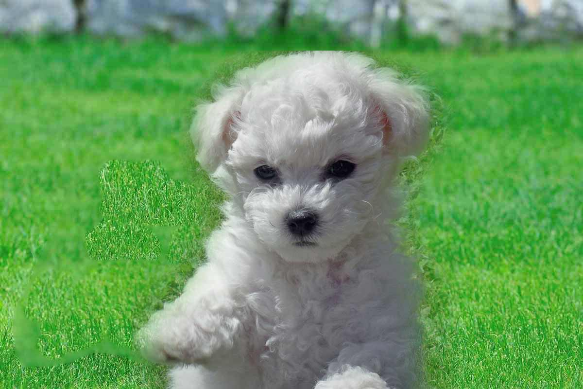 Bichon Frise Puppies For Sale | Dog Bazar