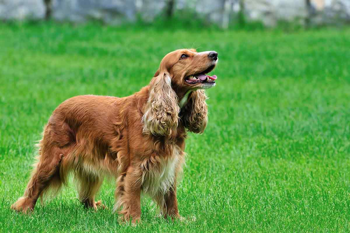 adult-english-cocker-spaniel