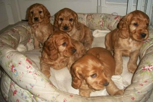 Cocker-Spaniel-Puppies-For-Sale
