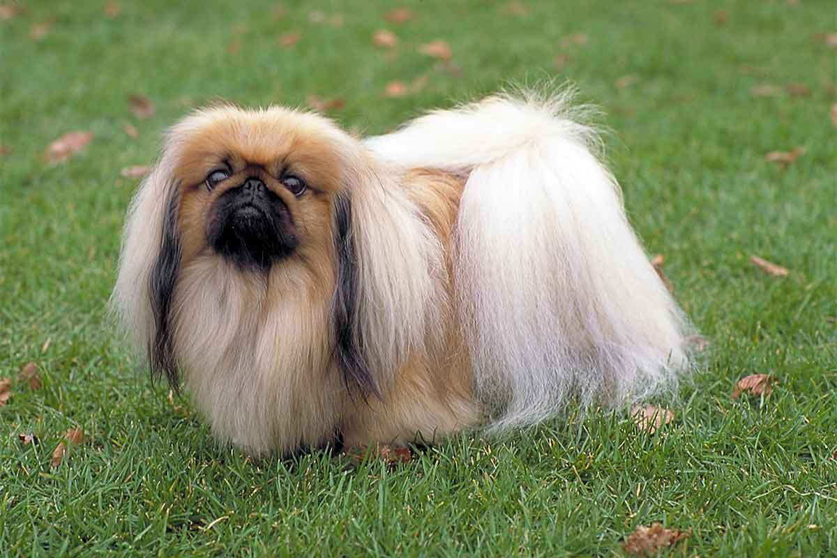 Pekingese Puppies For Sale Dog Bazar