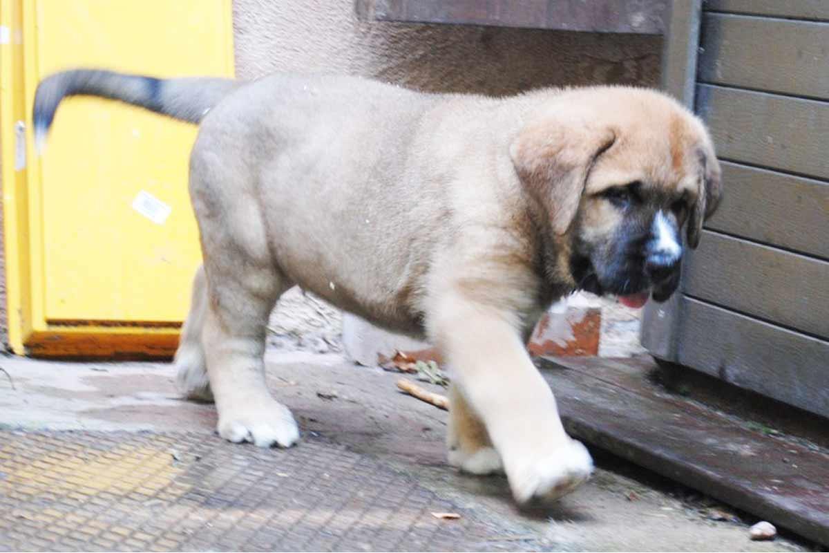 Spanish Mastiff Puppie For Sale Dog Bazar