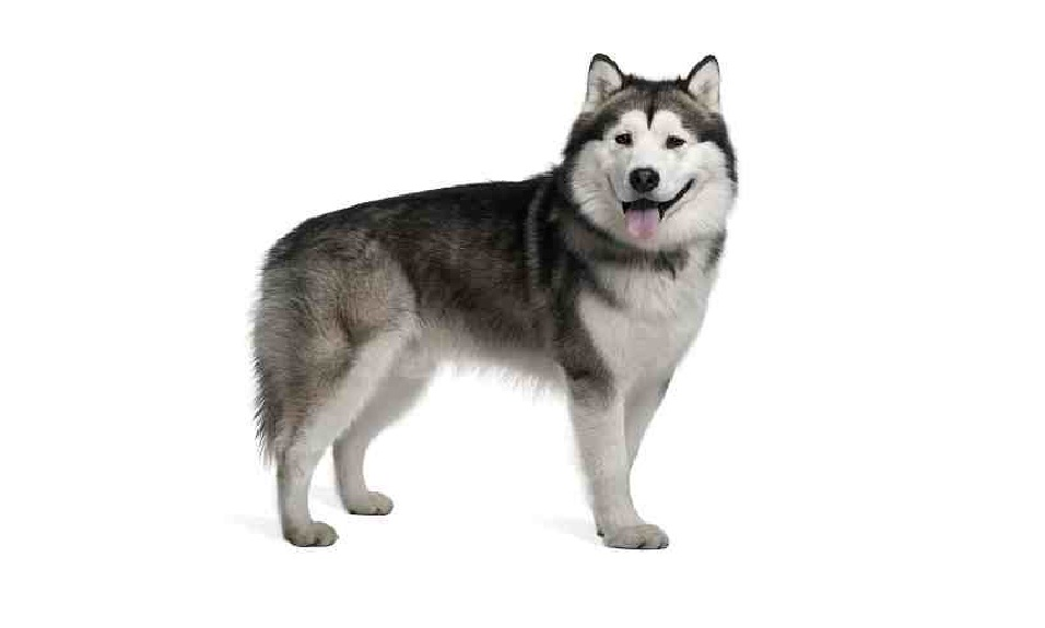 Alaskan Malamute Puppies For Adoption Dog Bazar