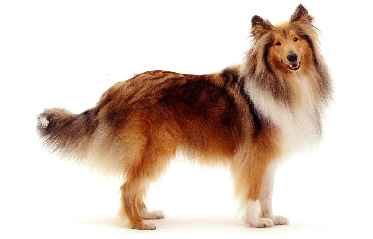 Adult collies for sale