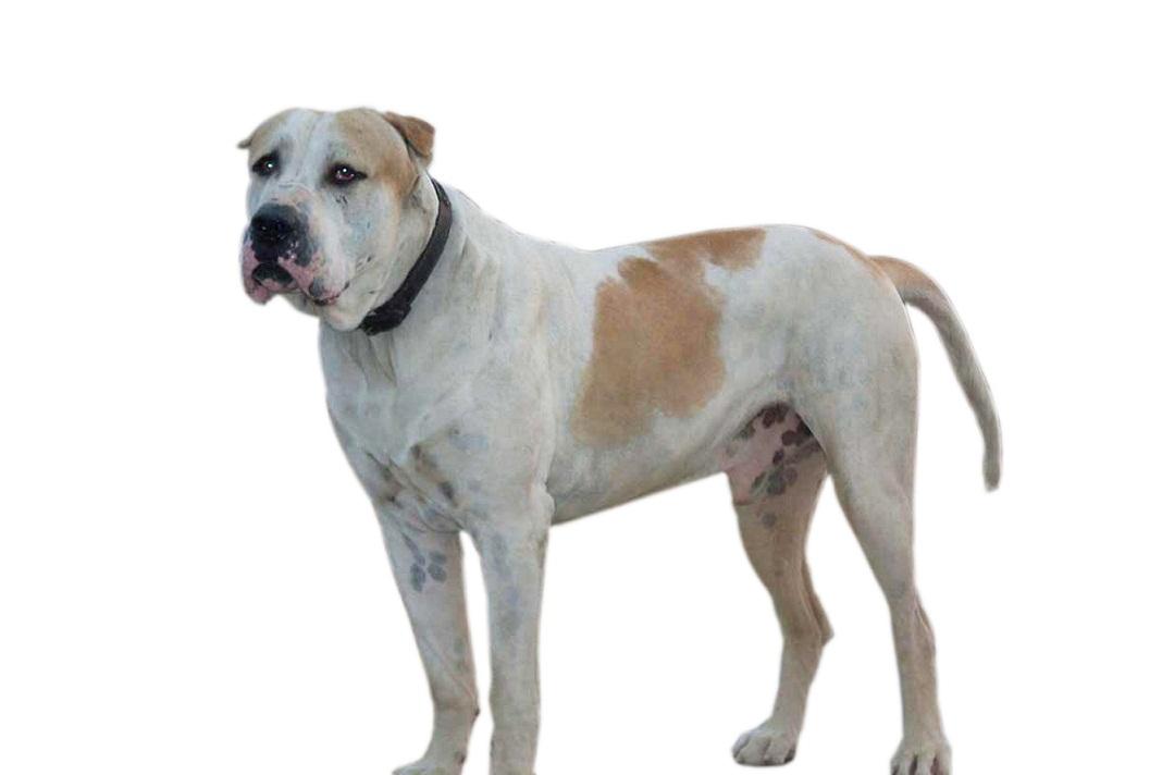 adopt adult american mastiff
