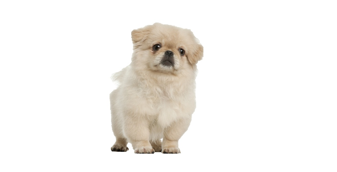 Pekingese Puppies For Adoption